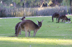 Kangaroos in Australia royalty free stock photography