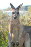 Kangaroos - Australia Stock Photography
