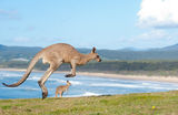Kangaroos - Australia Royalty Free Stock Photography