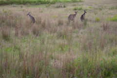 Kangaroos - Australia Royalty Free Stock Photo