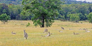 Kangaroos in Australia are looking straight at the camera Royalty Free Stock Photo