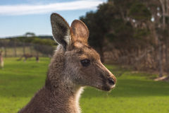 Kangaroos in the Australian outback Royalty Free Stock Photos