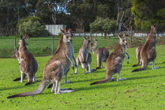 Kangaroos in the Australian outback Royalty Free Stock Photo