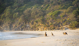 Kangaroos On Beach stock image
