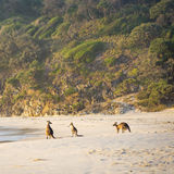Kangaroos On Beach At Dawn stock image