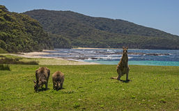 Kangaroos at the Beach. Eastern Grey Kangaroos feeding beside the sea at Depot Beach,NSW Royalty Free Stock Image