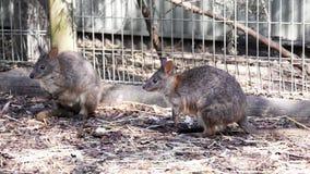 Kangaroos in captivity at New South Wales, Australia. Stock Photo