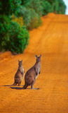 Kangaroos crossing Royalty Free Stock Images