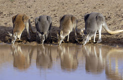 Kangaroos drinking Stock Photography