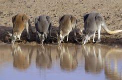 Kangaroos drinking Stock Photography