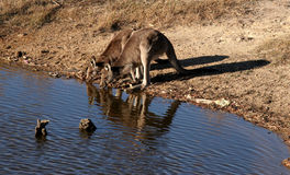 Kangaroos drinking Royalty Free Stock Photography