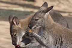 Kangaroos eating fruit. In the bush Royalty Free Stock Photography