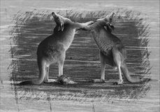 Kangaroos Embracing Stock Photography