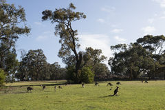 Kangaroos family, Australia Stock Photo