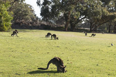 Kangaroos family, Australia Stock Photography