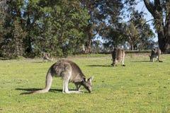 Kangaroos family, Australia Stock Images
