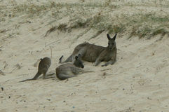 Kangaroos Royalty Free Stock Photography