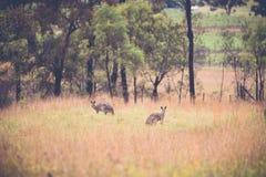 Kangaroos. Feeding in grass lands Royalty Free Stock Photo