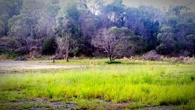 Kangaroos in a field Royalty Free Stock Photography