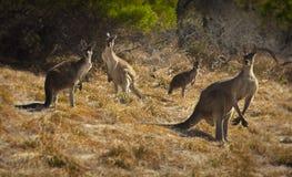4 Kangaroos Stock Images
