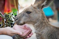 Kangaroos at Gan Garoo Stock Photography
