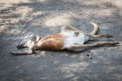 Kangaroos at Gan Garoo Royalty Free Stock Photos
