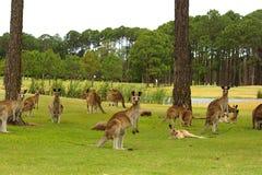 Kangaroos on a golf course stock photos