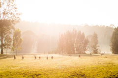 Kangaroos. On a grassy paddock at sunrise Stock Photography