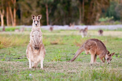 Kangaroos Royalty Free Stock Image