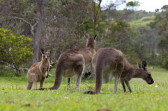 Kangaroos Grazing Royalty Free Stock Photos