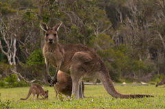 Kangaroos Grazing Stock Images