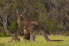 Kangaroos Grazing Stock Images