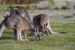 Kangaroos grazing, Narawntapu National Park Royalty Free Stock Photo