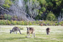 Kangaroos grazing, Narawntapu National Park Stock Photos
