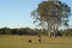Kangaroos and Gumtrees. Kangaroos enjoy the sun just before dusk, near gum trees in Australia stock image