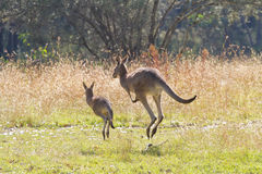 Kangaroos hopping away Stock Photo