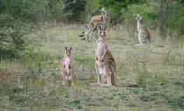 Kangaroos In The Wild Stock Photo