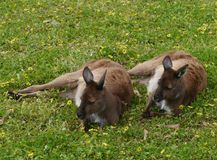 Kangaroos on Kangaroo island Stock Photo