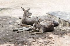 Kangaroos lie on a sunny day on the ground and rest at the Australian Zoo Gan Guru  in Kibbutz Nir David, in Israel Royalty Free Stock Images