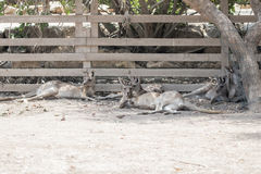 Kangaroos lie on a sunny day on the ground and rest at the Australian Zoo Gan Guru in Kibbutz  Nir David, in Israel Stock Photography