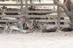 Kangaroos lie on a sunny day on the ground and rest at the Australian Zoo  Gan Guru in Kibbutz Nir David, in Israel Stock Image