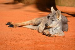 Kangaroo relaxing in the sun. Kangaroos like to relax and enjoy life, and what better way than to get some sun Royalty Free Stock Image