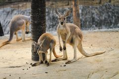 Kangaroos live in their farms in the forest park. royalty free stock images