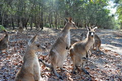 Kangaroos. A lot of kangaroos inside Morriset park close Sydney Stock Photos