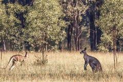 Kangaroos Lurking royalty free stock image