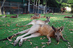 Kangaroos lying on grass Stock Photography