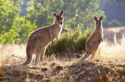 Kangaroos in the morning. Three kangaroos feeding at sunrise Stock Image