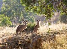 Kangaroos in the morning. Three kangaroos feeding at sunrise Stock Photography