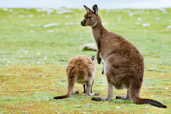 Kangaroos mother father and son portrait close up Royalty Free Stock Photography