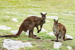 Kangaroos mother father and son portrait close up Stock Images